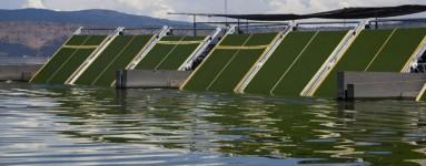 AFA Klamath algák